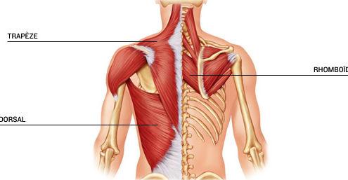 muscle-dorsaux-image-sebastien